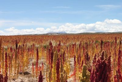 Andean countries support origin denomination for Bolivian Royal Quinoa