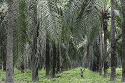 Daabon, first palm oil producer with Rainforest Alliance certification